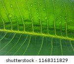 drop water on the green leaves | Shutterstock . vector #1168311829