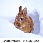 Stock photo light brown lionhead rabbit outdoors in the snow snowflakes on the head watching 1168323856