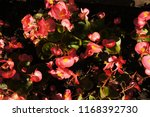 begonia semperflorens red... | Shutterstock . vector #1168392730