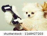Cute Pomeranian Dog Or Puppy...