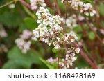 buckwheat  fagopyrum esculentum ... | Shutterstock . vector #1168428169