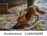 Yawning Red Fox  Alaska