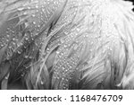 Dew Drops In Black And White On ...