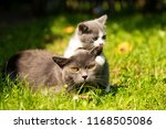 Stock photo family of cats outdoor cat with the baby kitten on grass cat hugs kitten cat plays kitten 1168505086