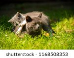 Stock photo family of cats outdoor cat with the baby kitten on grass cat hugs kitten cat plays kitten 1168508353