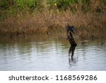 cormorant on branch on the... | Shutterstock . vector #1168569286