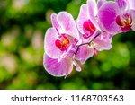 purple orchid branch on... | Shutterstock . vector #1168703563