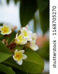 frangipani flowers close up... | Shutterstock . vector #1168705270