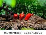 Three scarlet ibises resting on ...
