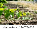 photgraph of white wine grapes... | Shutterstock . vector #1168726516