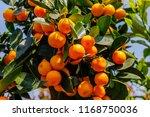 Calamondine Foliage And Fruits...