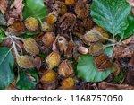 beech tree mast | Shutterstock . vector #1168757050
