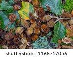 beech tree mast | Shutterstock . vector #1168757056