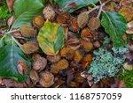 beech tree mast | Shutterstock . vector #1168757059