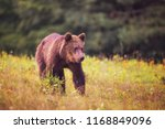 solitary brown bear walking at... | Shutterstock . vector #1168849096