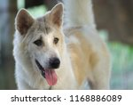 Small photo of White gray Thai Bangkaew dog is looking with suspicion.