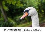 Head Of Cygnus Olor Swan. Has A ...