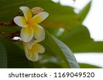 frangipani flowers close up... | Shutterstock . vector #1169049520