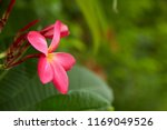 frangipani flowers close up... | Shutterstock . vector #1169049526