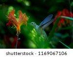 rufous hummingbird on crocosmia ... | Shutterstock . vector #1169067106