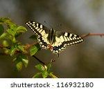 Old World Swallowtail Butterfl...