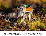 hunting dog seeking prey in the ... | Shutterstock . vector #1169351563
