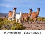a group of greater rhea   nandu ... | Shutterstock . vector #1169428216