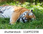 Small photo of Beautiful Amur Tiger Lying Down Resting in Grass Panthera tigris altaic