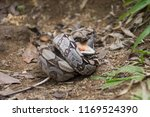 Boa Constrictor snake eating lizard in the Atlantic Rainforest, Tijuca Forest National Park, Rio de Janeiro, Brazil
