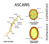ascaris the structure of an... | Shutterstock . vector #1169640163