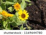 beautoful sunflower field  | Shutterstock . vector #1169644780