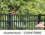red male northern cardinal bird ... | Shutterstock . vector #1169670880