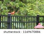 red male northern cardinal bird ... | Shutterstock . vector #1169670886