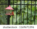 red male northern cardinal... | Shutterstock . vector #1169671396