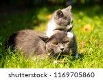 Stock photo family of cats outdoor cat with the baby kitten on grass cat hugs kitten cat plays kitten 1169705860