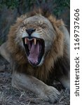 male lion yawning and showing... | Shutterstock . vector #1169737606