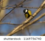 great tit songbird perched on a ... | Shutterstock . vector #1169756740