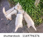 Stock photo sniffing out adventure three west highland white westie terrier dogs on a walk with retractable 1169796376