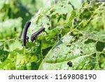 The rape sawfly harms the...