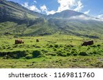 Small photo of Amazing view of bulls, cows or yack grazing green grass on meadow highlands with perfect sunshine in summer morning, mountain rural suburbs in Faroe Islands as travel, agriculture, farm.
