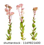 sedum telephium  often called... | Shutterstock . vector #1169821600