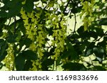 laburnum anagyroides   small... | Shutterstock . vector #1169833696