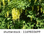 laburnum anagyroides   small... | Shutterstock . vector #1169833699