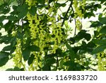 laburnum anagyroides   small... | Shutterstock . vector #1169833720