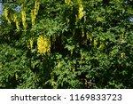 laburnum anagyroides   small... | Shutterstock . vector #1169833723