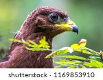 hawk honeydew. a hawk on a tree ... | Shutterstock . vector #1169853910