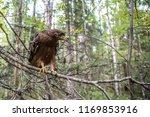 hawk honeydew. a hawk on a tree ... | Shutterstock . vector #1169853916