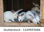 many white rabbits in a hutch | Shutterstock . vector #1169855686
