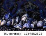 The Blue Mussel  Mytilus Edulis ...