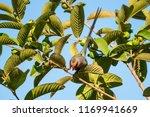 red faced mousebird  urocolius... | Shutterstock . vector #1169941669